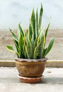 Sansevieria -Mother-in-law's tongue / snake plant