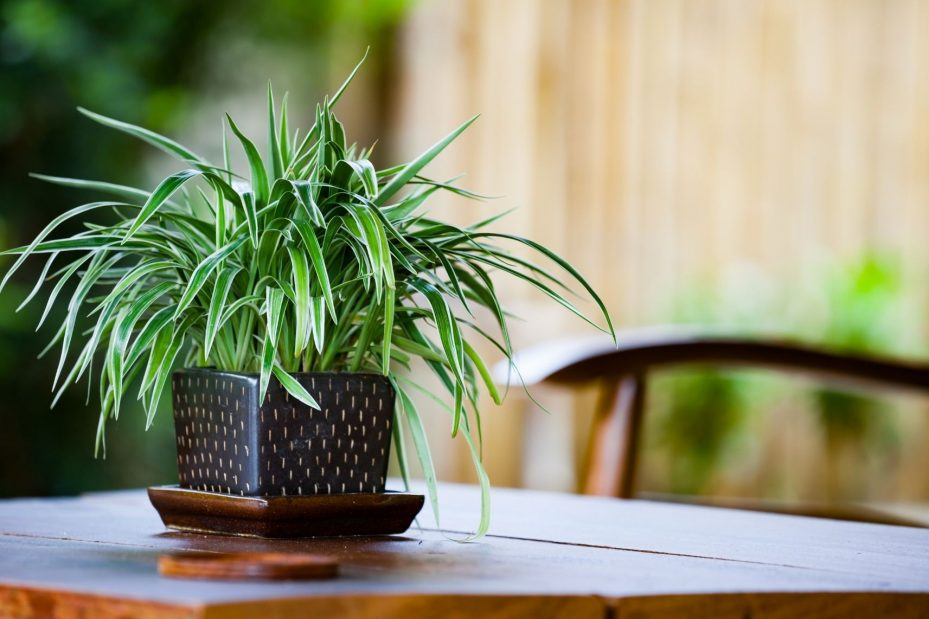 highest oxygen producing plants