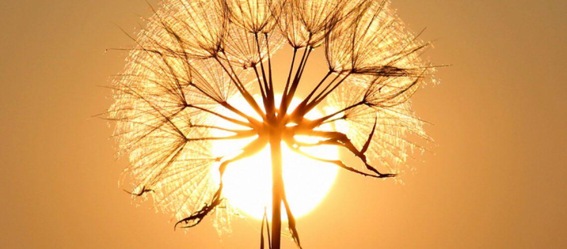daisy-with-sun-behind-it_800