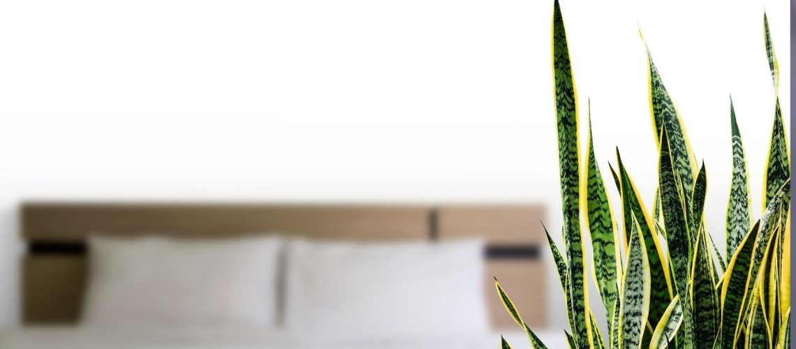 do snake plants clean the air